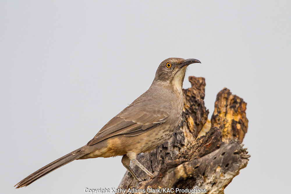 Arizona; Curve-billed thrasher; Southern Arizona; Toxostoma curvirostre