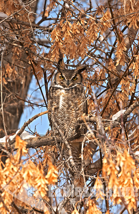 Adult owls like this Great Horned Owl are often found alone sitting in a tree next to the field it was hunting mice in the night before.