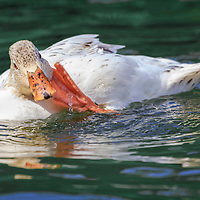 Snowy mallard hybrid stops to scratch an itch while swimming in pond.