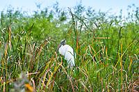 US, Florida, Everglades, Shark Valley. Wood Stork.