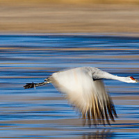 USA, New Mexico, Bosque del Apache National Wildlife Refuge, Blurred image of Sandhill Crane (Grus canadensis) flying in Rio Grande Valley on winter morning