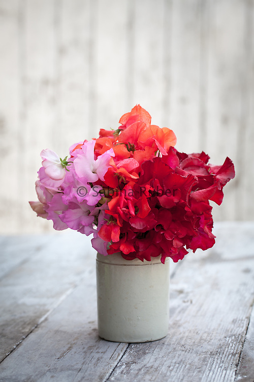 Lathyrus odoratus 'Gwendoline', 'Prince of Orange' and 'Henry Thomas' - sweet pea arrangement in small earthenware jar