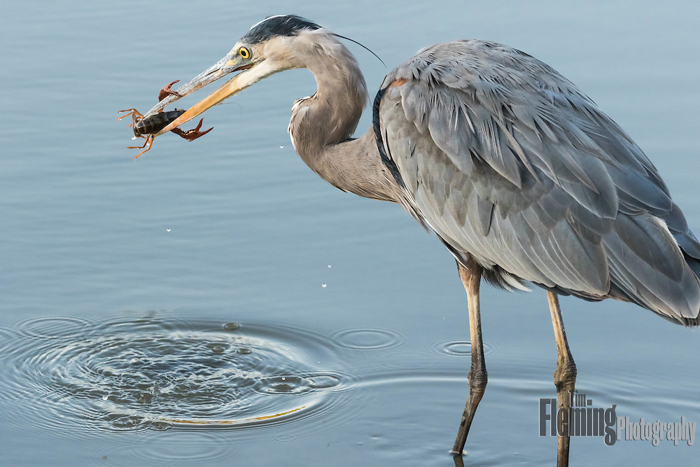 Great blue heron and crawfish. Ellis Creek Water Recycling Facility, Petaluma, CA