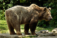 Deu, Deutschland: Europäischer Braunbär (Ursus  arctos), zeigt seine Breitseite, Lebensraum: Alpen, Wildpark Bad Mergentheim, Baden-Württemberg | DEU, Germany: European brown bear (Ursus arctos), showing its broadside, habitat: Euopean Alps, wild park Bad Mergentheim, Baden-Wuerttemberg |