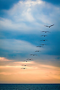 12 brown pelicans flying out to sea on astormy morning on the Outer Banks of NC.