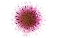 France, languedoc Roussillon, fleur de Chardon à tige nue, N.L.: Carduus defloratus, Astéracées