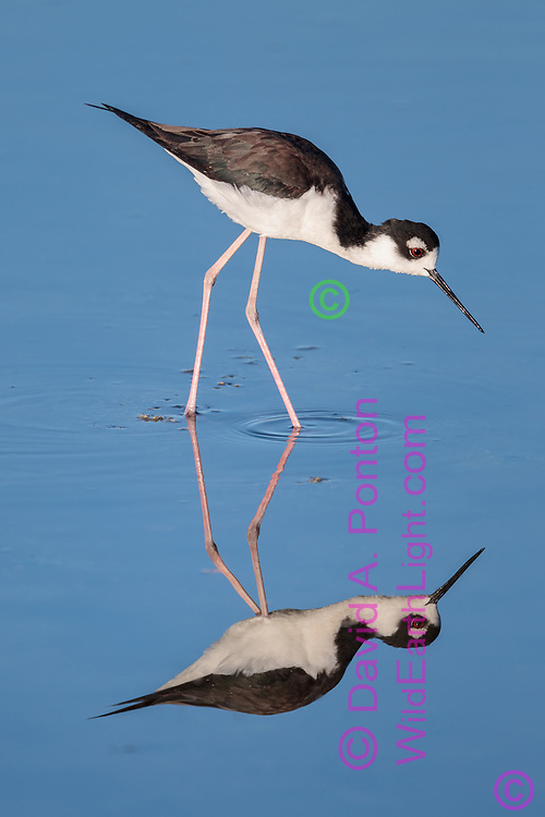 Black-necked stilt wading in shallows, with reflection, © 2011 David A. Ponton