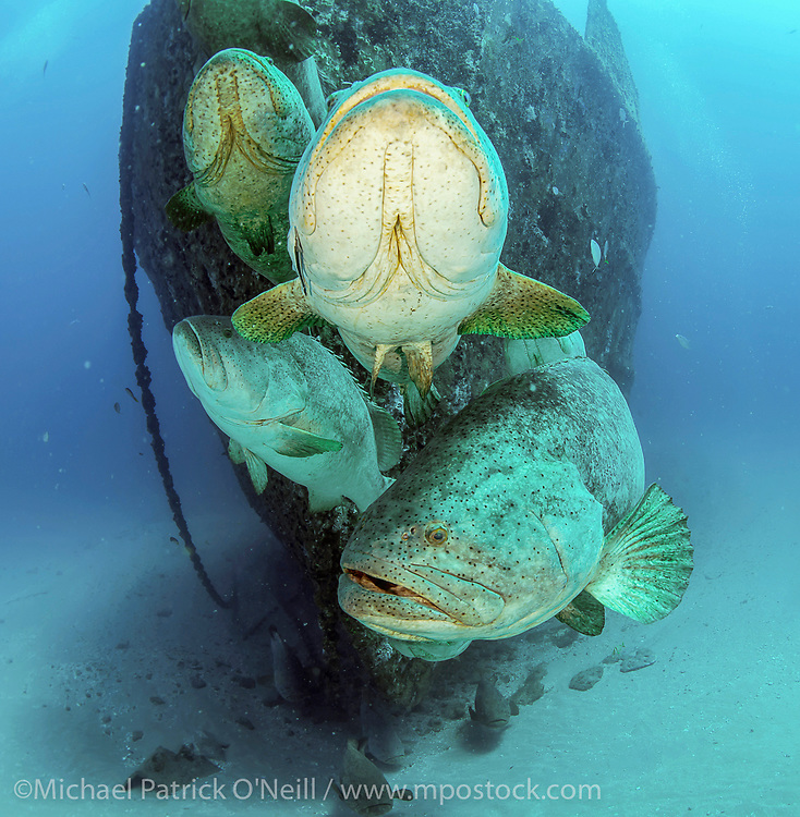 An endangered and protected Goliath Grouper, Epinephelus itajara, gather near the bow of the Ana Cecilia artificial reef offshore Singer Island, Florida, United States. Image available as a premium quality aluminum print ready to hang.