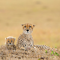 Cheetah (Acinonyx jubatus) is a vulnerable cat/feline (Felidae). Here, mom and cub are resting.