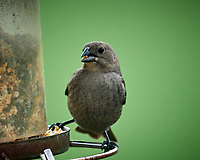 Female Brown-headed Cowbird. Image taken with a Nikon D5 camera and 600 mm f/4 VR lens (ISO 1400, 600 mm, f/5.6, 1/1250 sec)