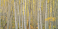 Aspen trees, Kebler Pass, Gunnison NF, Colorado.