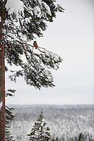 OULANKA NATIONAL PARK; KUUSAMO; KITKAJOKI; FINLAND 2009; EUROPE; WINTER; WILD SIBERIAN JAY; Perisoreus infaustus; BIRD PHOTOGRAPHY; PHOTO HIDE
