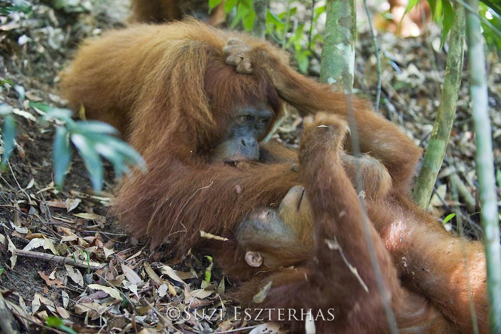 Sumatran Orangutan<br /> Pongo abelii<br /> Adult female playing with young male<br /> North Sumatra, Indonesia<br /> *Critically Endangered