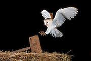 Barn owl (Tyto alba) flying inside a barn, Avila, Spain