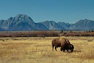 American Bison (Bison bison) Grand Teton National Park, Wyoming