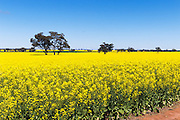 Flowering canola crop in rural farm paddock under blue sky near Lockhart, country New South Wales, Australia.