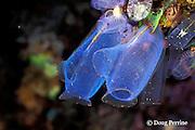 sea squirts, tunicates or ascidians, Rhopalaea sp., on Liberty Wreck, Tulamben, Bali, Indonesia
