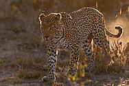 Ein m&auml;nnlicher Leopard (Panthera pardus) im Schutzgebiet Sabi Sands, S&uuml;dafrika<br /> <br /> A male leopard (Panthera pardus) in the private game reserve Sabi Sands, South Africa