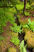 Several lady ferns (Athyrium filix-femina) line a creek that runs through the moss garden in the Bloedel Reserve on Bainbridge Island, Washington.