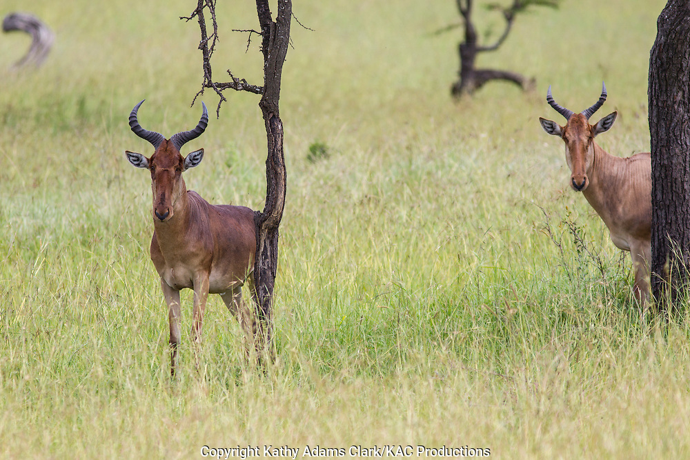 Red hartebeest, Alcelaphus buselaphus,  stnding in the grass, Serengeti National Park, Tanzania, Africa.