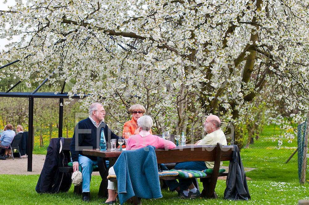 Gutsausschank, blühender Kirschbaum, Kirschblüte, Frühling, Wiesbaden-Frauenstein, Rheingau, Hessen, Deutschland.|.wine pub garden, cherry blossom, spring, Wiesbaden-Frauenstein, Rheingau, Hessen, Germany