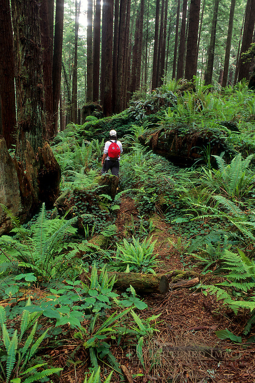 Hiker in redwood forest, Redwood Park, Arcata, Humboldt County, California