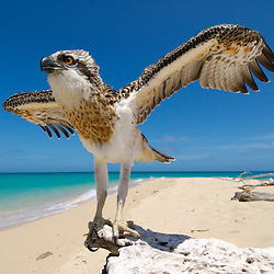 An osprey chick prepares to take flight on an isolated tropical island on the Great Barrier Reef, Australia.