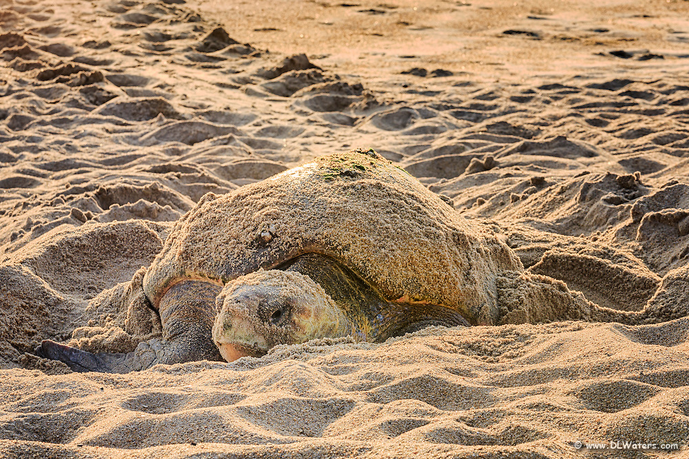 Loggerhead sea turtle laying her eggs in  Duck on an Outer Banks beach.