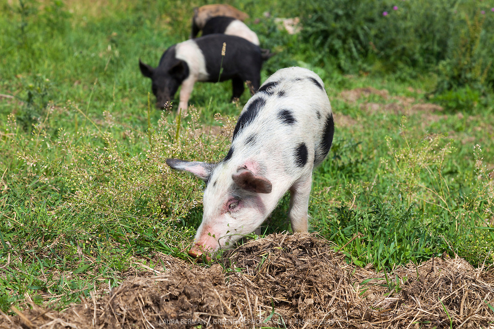 Black and white belted Hampshire piglets and Tamworth -Berkshire heritage cross-breed piglets enjoying sun, grass and freedom in a farm field. Pigs from this cross come out in a variety markings-- plain or spotted--and in colour combinations of black, white, and red.
