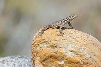 Sunning Crag Lizard, Namaqua National Park, Northern Cape, South Africa,