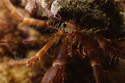 Israel, Mediterranean sea, - Underwater photograph of a Red Hermit Crab or Small Hermit Crab (Diogenes pugilator)