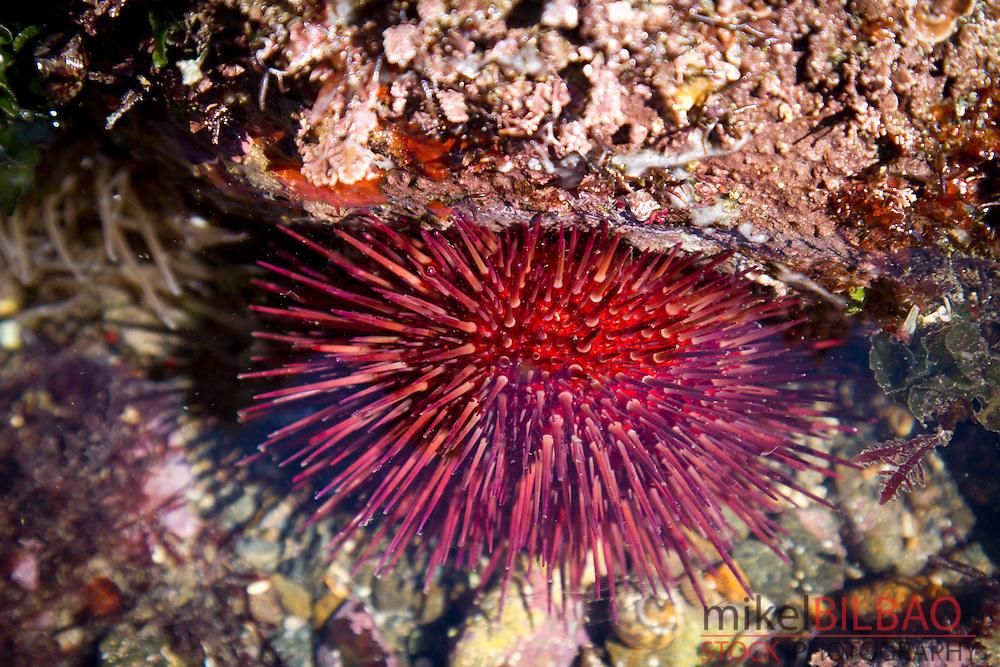 Purple sea urchin (Paracentrotus lividus) in a tidal pool.