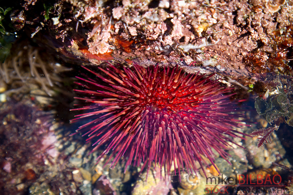 Purple sea urchin (Paracentrotus lividus) in a tidal pool.