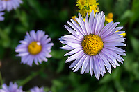 Purple Aster wildflowers grow in groups high in Utah's Albion Basin in Little Cottonwood Canyon