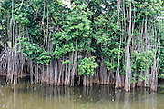 Mangroves at high tide. Photographed at El Tunco beach, El Salvador,