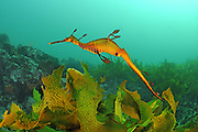 Weedy seadragon (Phyllopteryx taeniolatus) photographed in waters off southern Australia, Pacific Ocean, Indian Ocean, Southern Ocean.