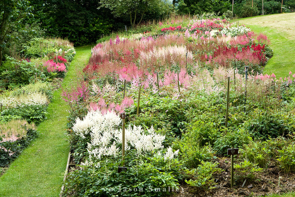 National Collection of Astilbes at Holehird garden, Windermere.