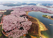 GUIYANG, CHINA - MARCH 16: (CHINA OUT) <br /> <br /> Aerial View Of Sea Of Flowers In Guiyang<br /> <br /> Aerial view image shows cherry blossoms, magnolia flowers and rape flowers form sea of flowers in Hongfeng Lake on March 16, 2016 in Guiyang, Guizhou Province of China. It\'s said that the large scale of flower area is a base of cultivating flower seedlings. <br /> &copy;Exclusivepix Media