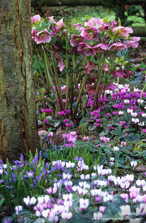 Woodland area in spring with Cyclamen coum, chionodoxa and Helleborus x hybridus 'Ashwood Garden Hybrids'