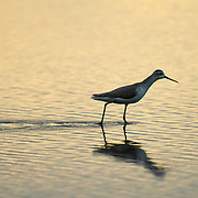 Marsh Sandpiper, Tringa stagnatilis, Laem Pak Bia, Thailand.
