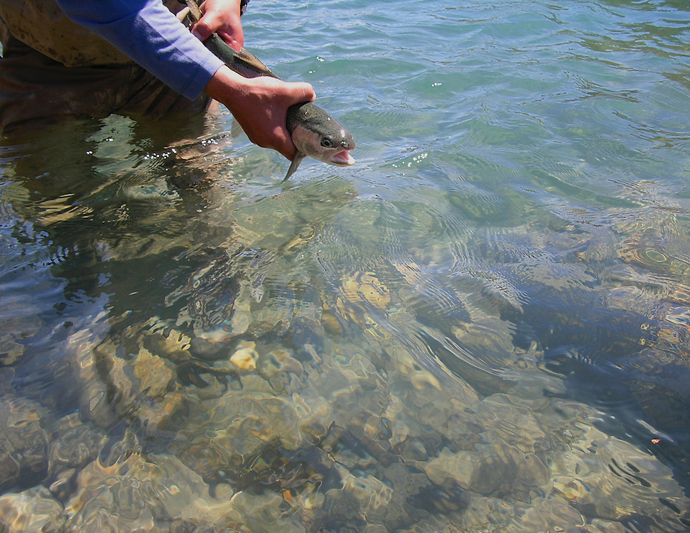 Rainbow trout goes back to the crystal clear water of Rio Baker, Patagonia, Chile.