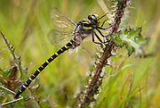 Side view of a Golden-ringed Dragonfly (Cordulegaster boltonii) is a large, striking dragonfly and the longest British species, Near Culmark Hill, Southern Uplands, Scotland