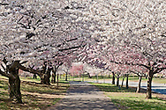 New Jersey, Newark, Branch Brook Park, Spring, Cherrry Blossom, walking path