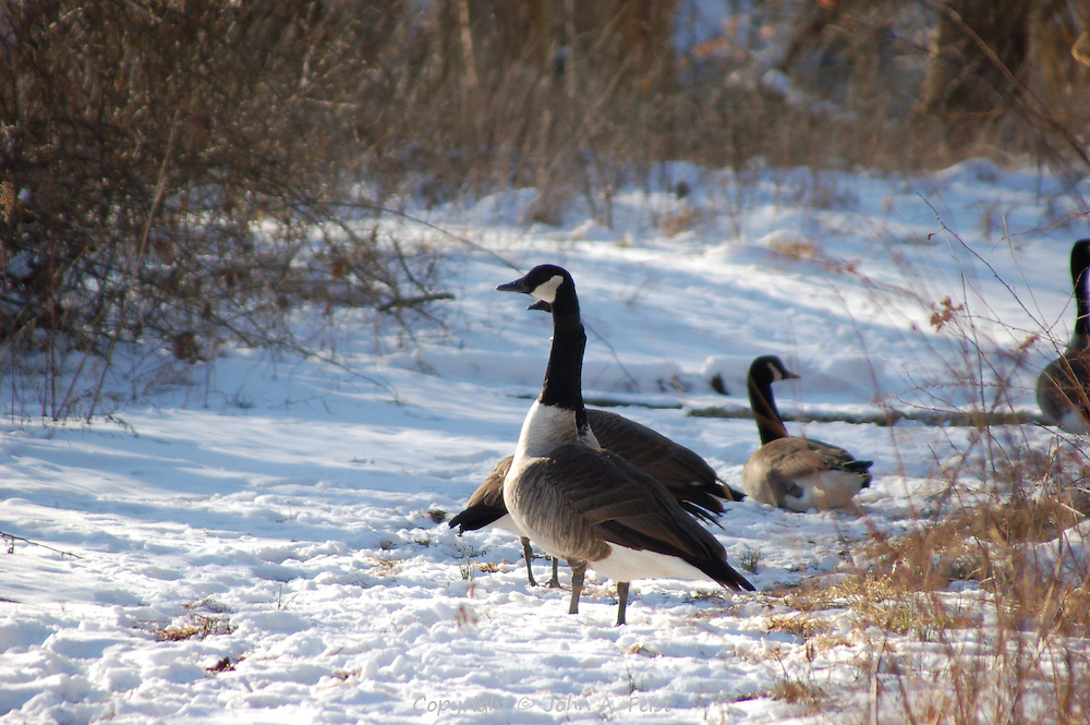 A small group of geese in the snow along the D and R Canal in Hillsborough, NJ