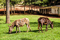Mulas no Centro de Lazer Bom Jesus. Bom Jesus do Oeste, Santa Catarina, Brasil. / <br /> Mules in Bom Jesus Leisure Center.  Bom Jesus do Oeste, Santa Catarina, Brazil.