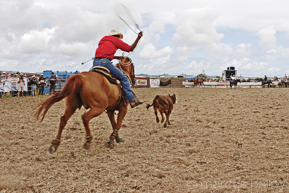 rodeo calf sprints away whilst the calf ropers follow in hot pursuit, spinning the lasso as they go, at Hellensville Rodeo, Auckland, New Zealand