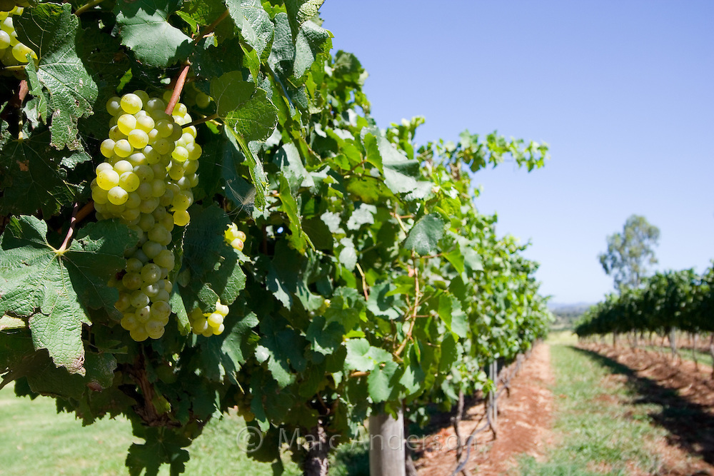 Grapes growing in a vineyard in the Hunter Valley region, NSW, Australia