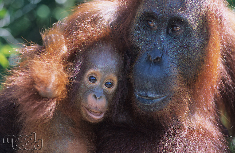 Orangutan embracing young close-up