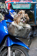Pet dog on a motorcycle, Silom.