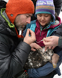 "Steve Lewis, Raptor Management Coordinator, U.S. Fish & Wildlife Service (left) and Dr. Scott Ford, avian veterinarian, Avian Speciality Veterinary Services of Alaska (right), take blood samples from a bald eagle (Haliaeetus leucocephalus) captured in the Alaska Chilkat Bald Eagle Preserve. Holding the eagle is Yiwei Wang, graduate student, University of California Santa Cruz. Blood samples are taken of the eagles to study for various things including chemical contaminants such as mercury. Rachel Wheat, graduate student at the University of California Santa Cruz (not pictured) is conducting a bald eagle migration study of eagles that visit the Chilkat River for her doctoral dissertation. She hopes to learn how closely eagles track salmon availability across time and space. The bald eagles are being tracked using solar-powered GPS satellite transmitters (also known as a PTT - platform transmitter terminal) that attach to the backs of the eagles using a lightweight harness. The latest tracking location data of this bald eagle known as ""2Z"" can be found here: http://www.ecologyalaska.com/eagle-tracker/2z/ . During late fall, bald eagles congregate along the Chilkat River to feed on salmon. This gathering of bald eagles in the Alaska Chilkat Bald Eagle Preserve is believed to be one of the largest gatherings of bald eagles in the world."